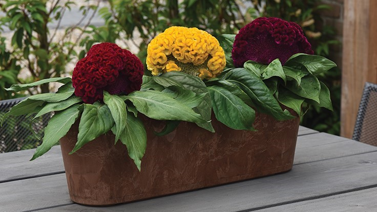 PanAmerican Seed acquires celosia breeding from Celex