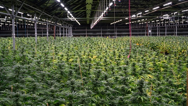 How Cannabis Cultivators Can Factor DLI into Their Lighting Plans