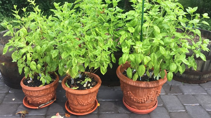 Four new Rutgers sweet basil varieties are available to home gardeners