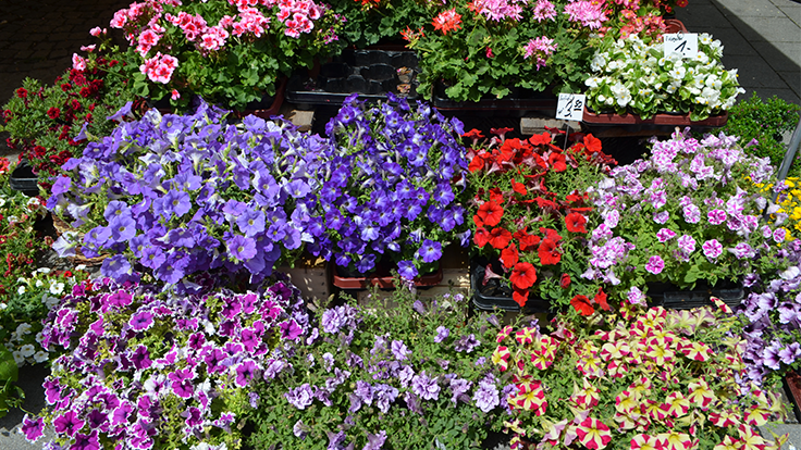 3 tips for producing the best annuals and perennials