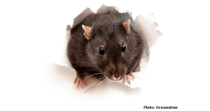 California Rat Population Exploding, New Report Claims