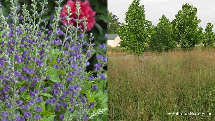 What growers need to know about Baptisia and Panicum