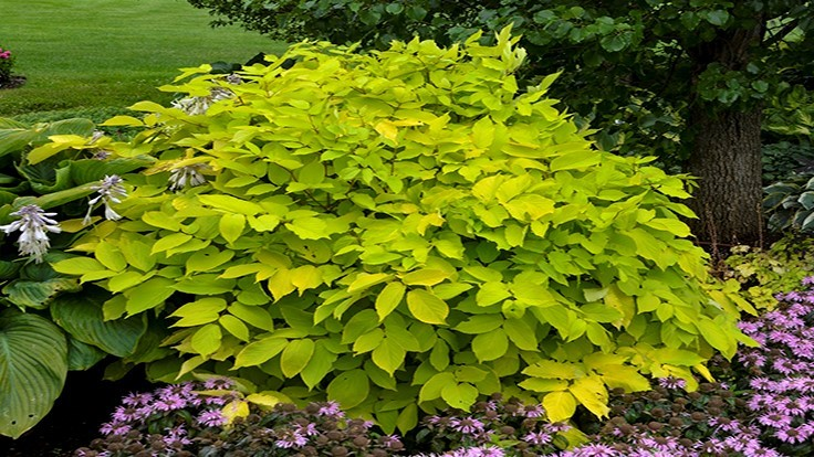 Aralia 'Sun King' named 2020 Perennial Plant of the Year
