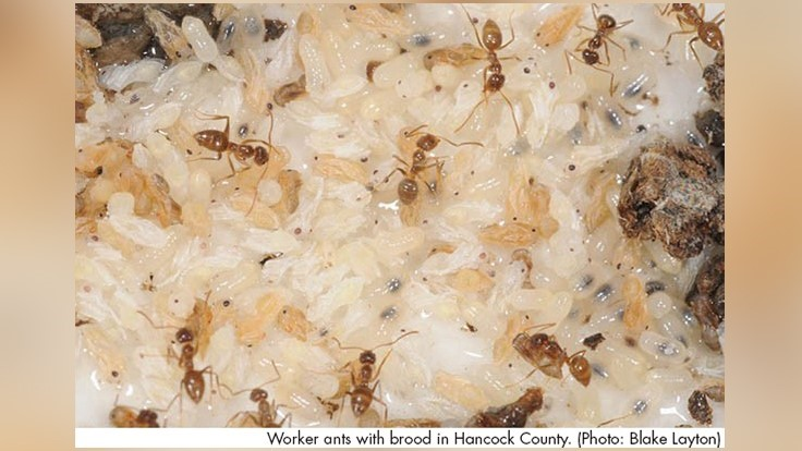 UT Researchers Defending Texas from Tawny Crazy Ants