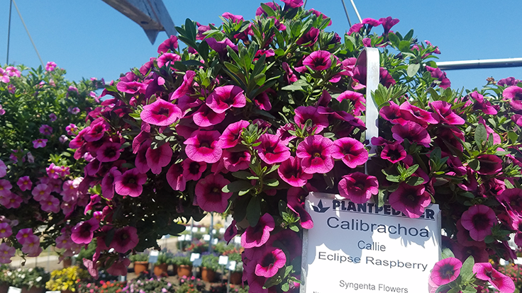 'Callie Eclipse Raspberry,' 'Elegant Feathers' among standouts at Plantpeddler Variety Day