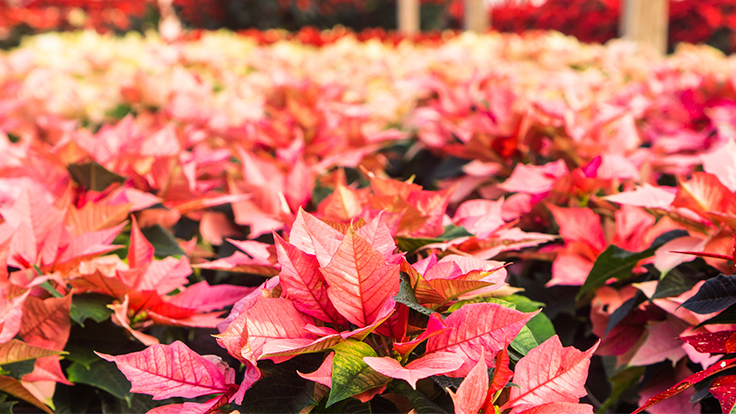 LISTEN: Cultivate trends and holiday plants on the Green Industry Leaders Network podcast