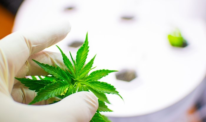 Cannabis Cultivators Needed for Pennsylvania's Medical Cannabis Research Program