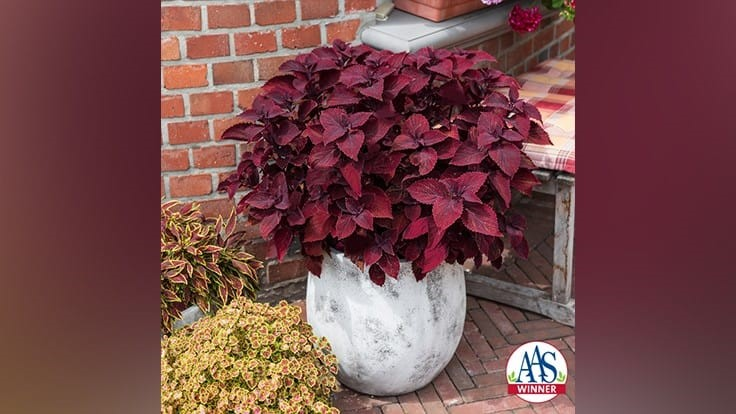 Main Street Coleus from Dümmen Orange named AAS Winner