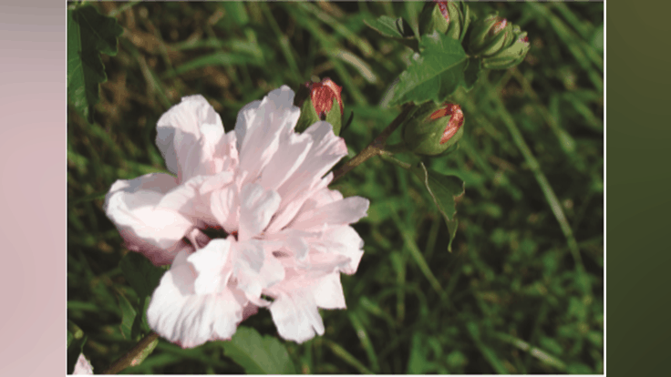 Lacebark Inc. introduces Lady Bug, a new rose-of-sharon variety