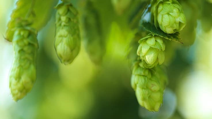 New study suggests controlled-environment hops production is easier than previously thought