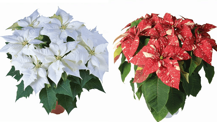 Lazzeri poinsettias now shipping from Selecta One
