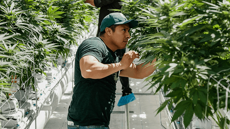 Village Farms takes majority ownership in cannabis operation Pure Sunfarms