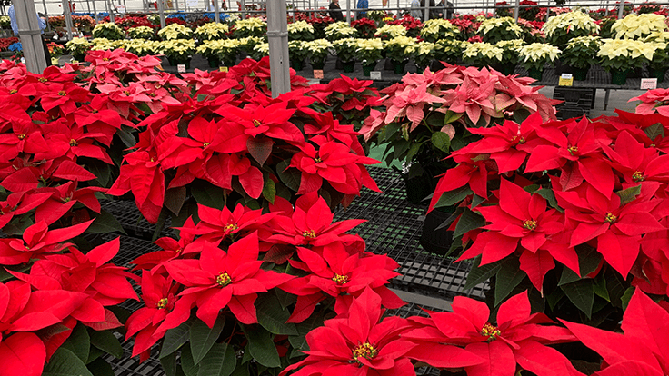 Suntory's 'Princettia Queen Pink,' Dümmen Orange's 'Tapestry' among top performers at N.G. Heimos Poinsettia Trial Open House