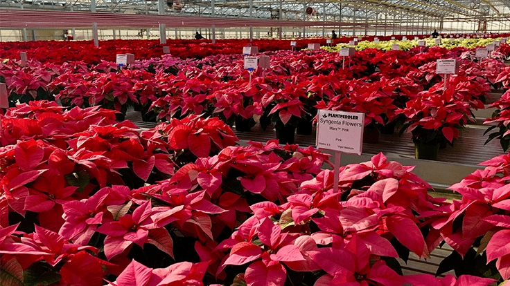 Syngenta's 'Mirage Red,' Lazzeri's 'Superba Glitter' are top performers in Plantpeddler's poinsettia trial