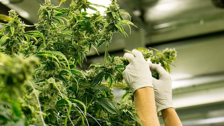 Resource Innovation Institute Releases Best Practices Guides for Cannabis Cultivators