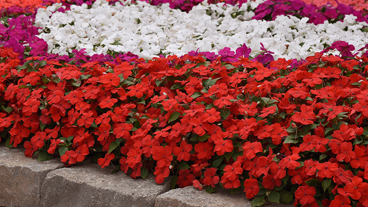 Beacon Impatiens to be featured at 2020 GRAMMYs