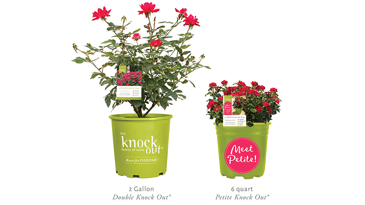 Star Roses and Plants introduces The Petite Knock Out Rose