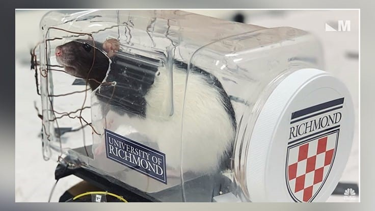 Video: Scientists Trained Rats to Drive