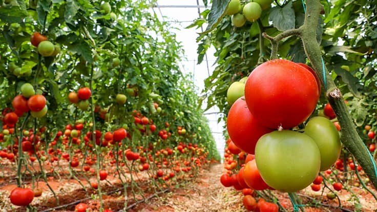 MightyVine sues Mastronardi Produce over Tiny Mighty Tomatoes