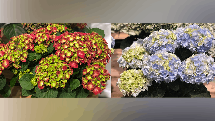 Syngenta Flowers to exclusively sell and market HI Breeding Hydrangea in the U.S. and Canada