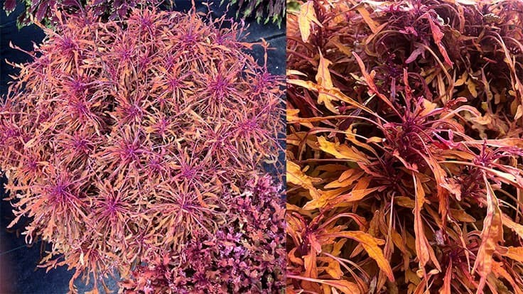 Terra Nova Nurseries introduces sneak peek of Coleus TERRA NOVA 'Monkey Puzzle' variety