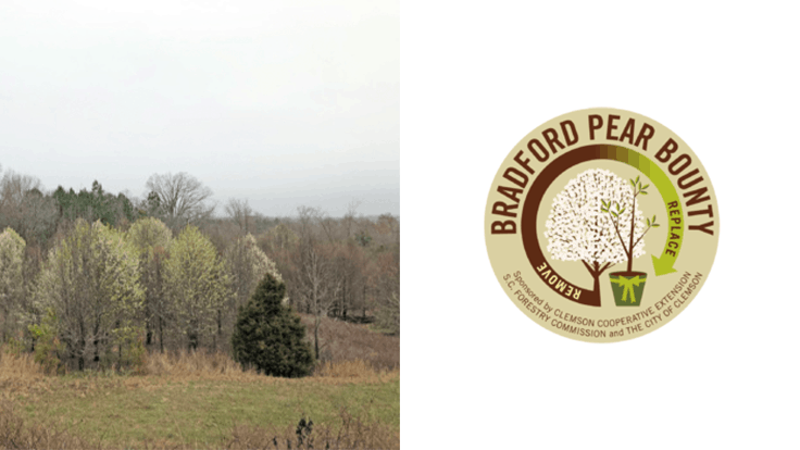 Clemson Extension working to uproot invasive Bradford pear trees