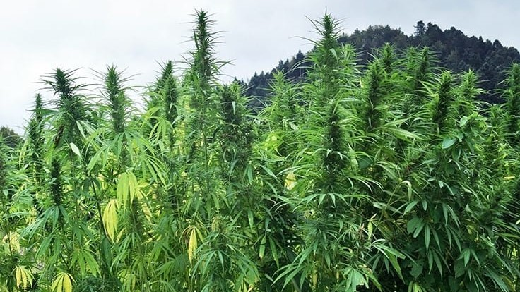 North Carolina Farmers Urge a 1% THC Cap as Regulatory Confusion Settles on 2020 Growing Season