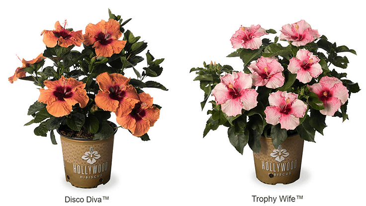 J. Berry introduces two new Hollywood Hibiscus varieties