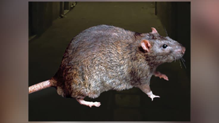 /New-Orleans-Rodent-increase-COVID-19.aspx