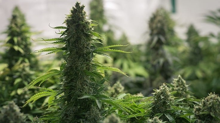 Lebanon Legalizes Medical Cannabis Cultivation