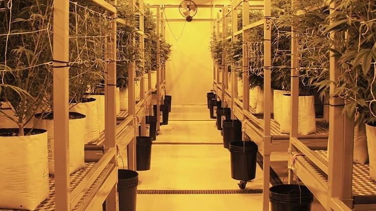Inside the DEA's New Promise to Expand Cannabis Cultivation for Research
