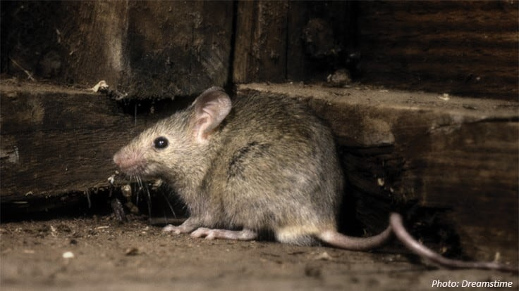 COVID-19 Survey: Documenting Possible Rat Emergence During Social Distancing