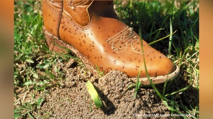 Texas A&M Recommends the Texas Two-Step for Fire Ant Control