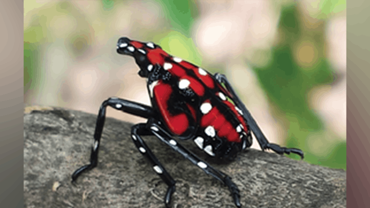 How to build a spotted lanternfly circle trap