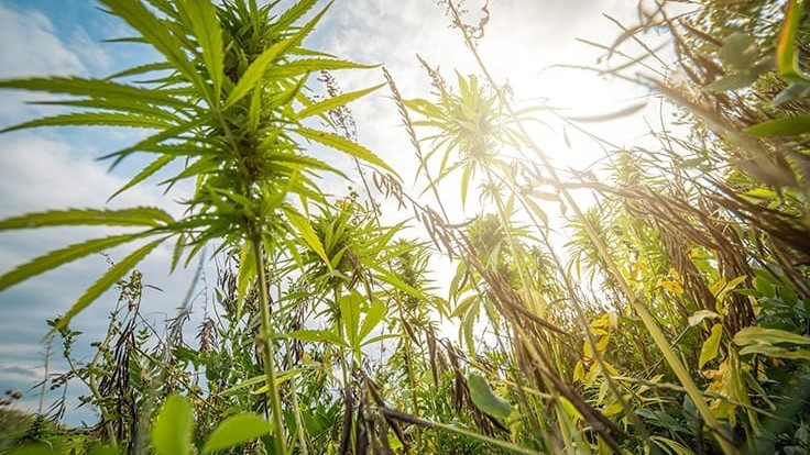 In Colorado, Hemp Growers Look to the Cannabis Market for Relief Ahead of the Switch to New USDA Rules