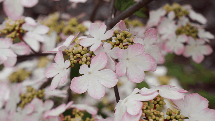 Viburnum Kilimandjaro Sunrise voted Plant of the Decade