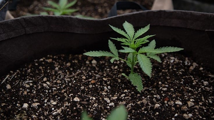 SPARC Hires Out-of-Work Farmers for Its Sungrown Cannabis Operation in Glen Ellen, Calif.