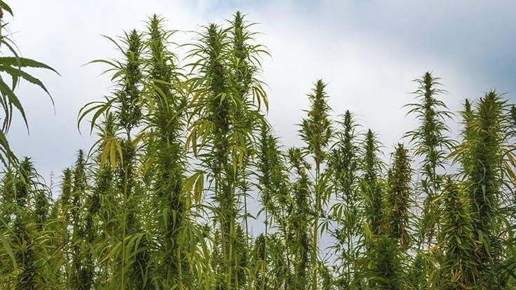USDA Grant Allows WVU Professor to Study 'Hot' Hemp Crops