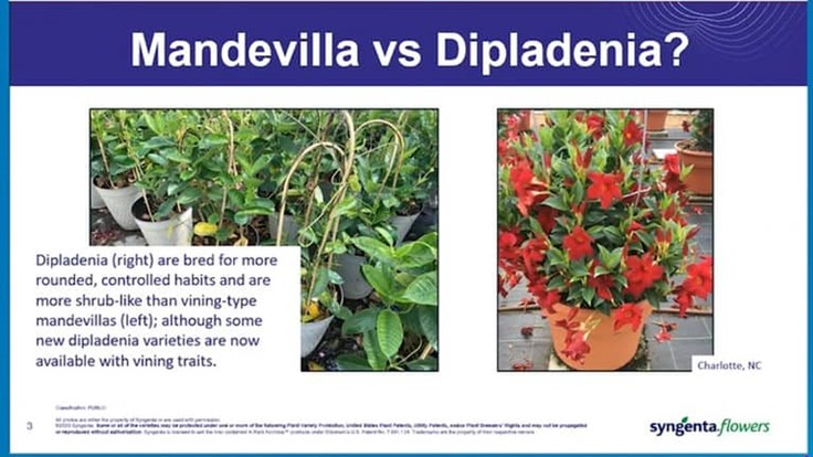 Dipladenia and mandevilla 101