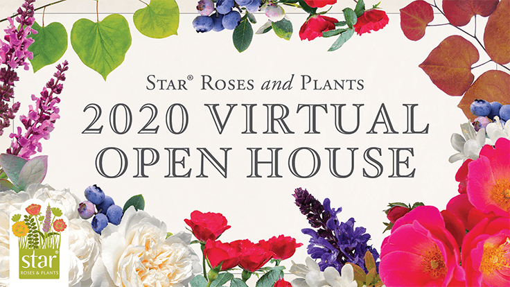 Star Roses and Plants' 2020 open house goes virtual