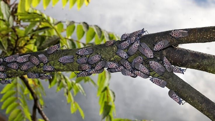 Need to Know: Spotted Lanternfly and Hemp