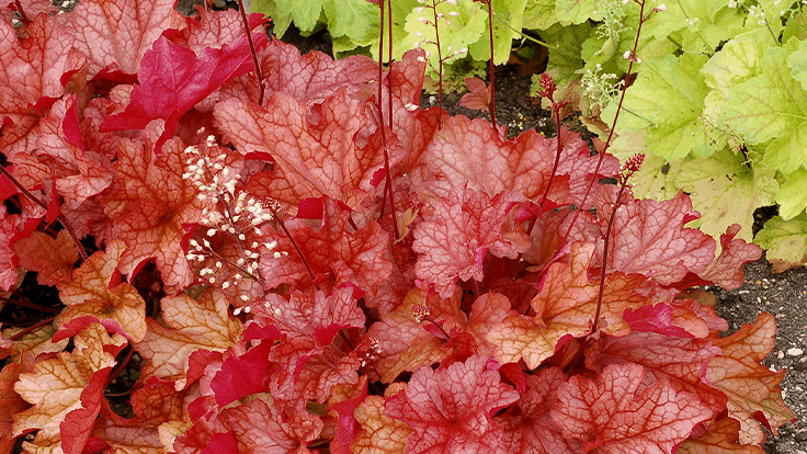 Terra Nova Nurseries' Heuchera varieties make Netflix debut