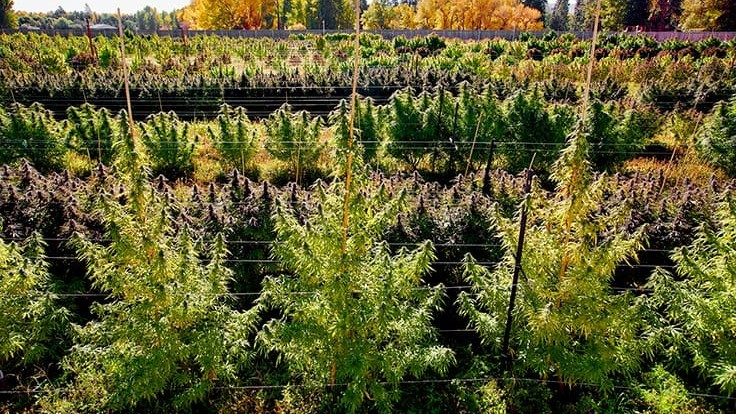 5 Cannabis Harvest Tips for a Successful Outdoor Season