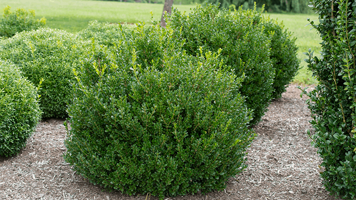 USDA identifies blight resistant boxwood varieties