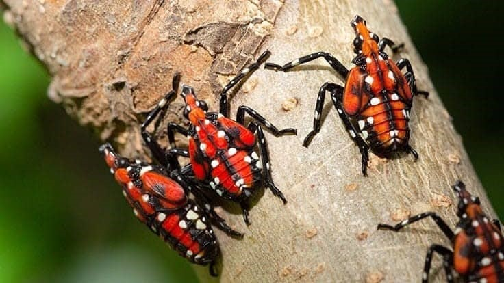 Spotted lanternfly discovered in Oregon