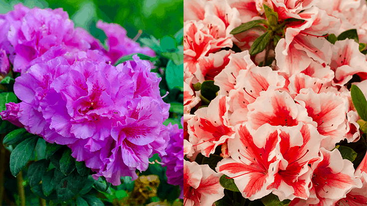 Encore Azaleas introduces two new varieties