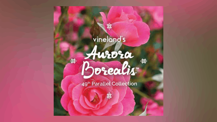 Vineland introduces new Aurora Borealis rose for 2021
