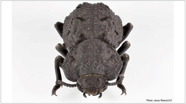 UC Irvine Researchers Studying 'Indestructible' Beetle