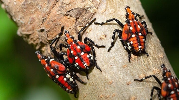 Spotted lanternfly detected in Ohio
