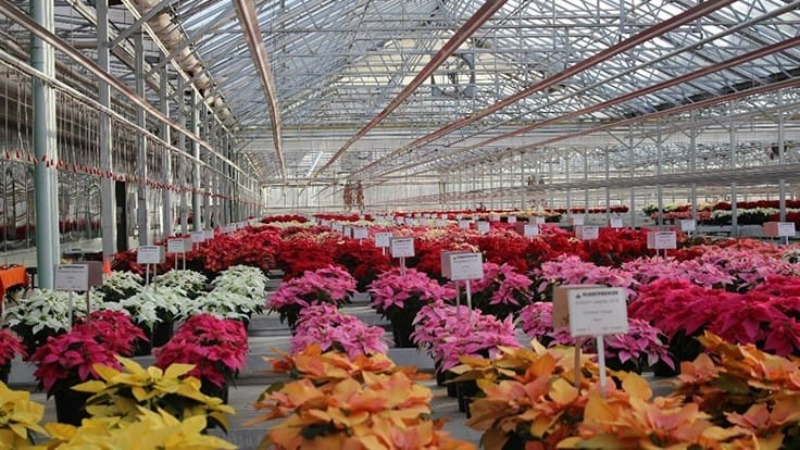 'Draco' Red, 'Jack Frost' among top performers in Plantpeddler's poinsettia trial